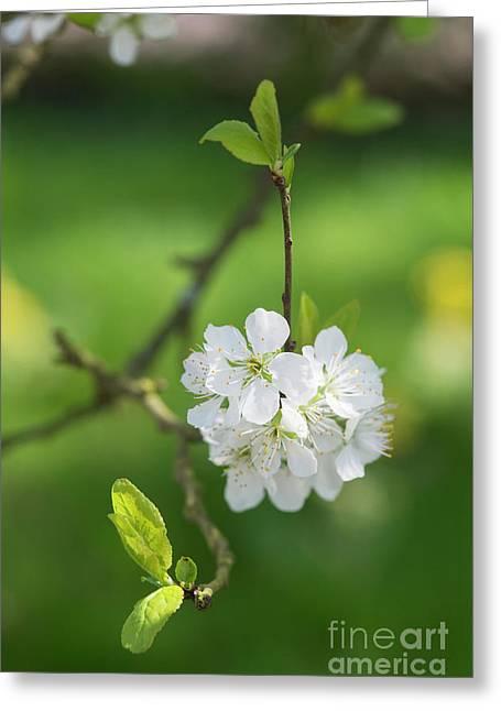 Plum Blossom Greeting Card by Tim Gainey