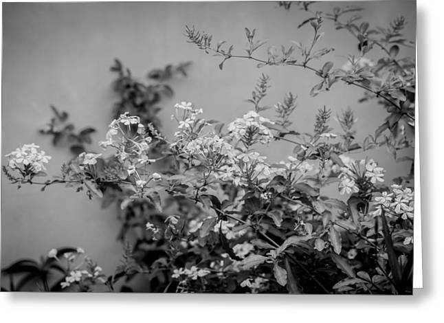 Plumbago Auriculata Painted Bw Greeting Card by Rich Franco