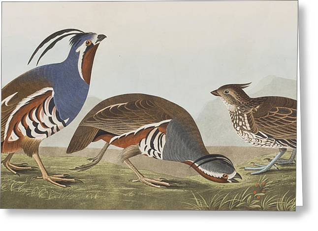 Feeding Greeting Cards - Plumed Partridge Greeting Card by John James Audubon