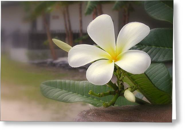 Plumeria Bloom Greeting Card by Cindy Wright