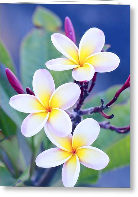 Canvas Floral Greeting Cards - Plumeria in Pastels Greeting Card by Jade Moon