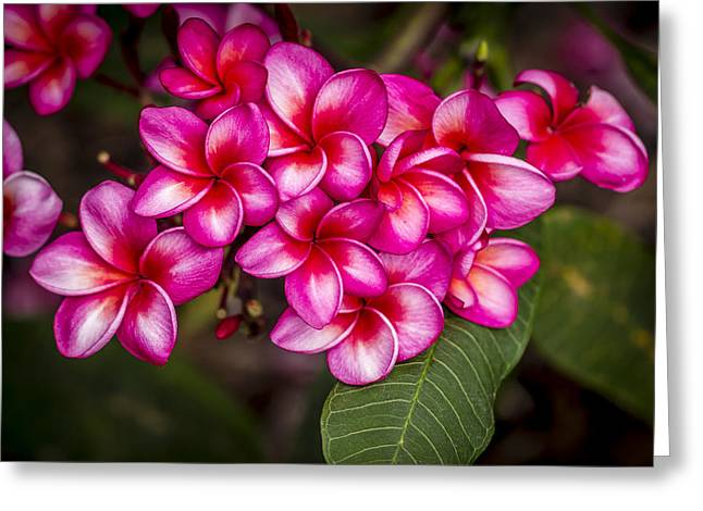 Moon Flower Greeting Cards - Plumeria Profusion Greeting Card by Jade Moon