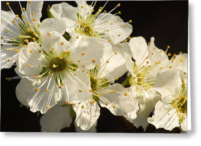 Apricot Greeting Cards - Pluot Flowers Greeting Card by Inga Spence