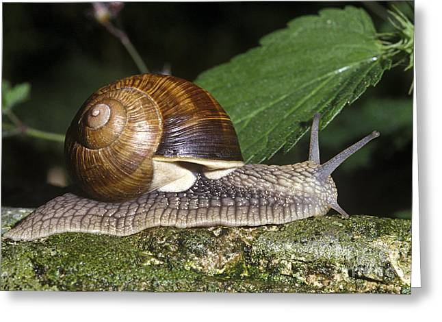 Burgundy Greeting Cards - Pneumostome Of A Burgundy Snail Greeting Card by Jean-Louis Klein & Marie-Luce Hubert