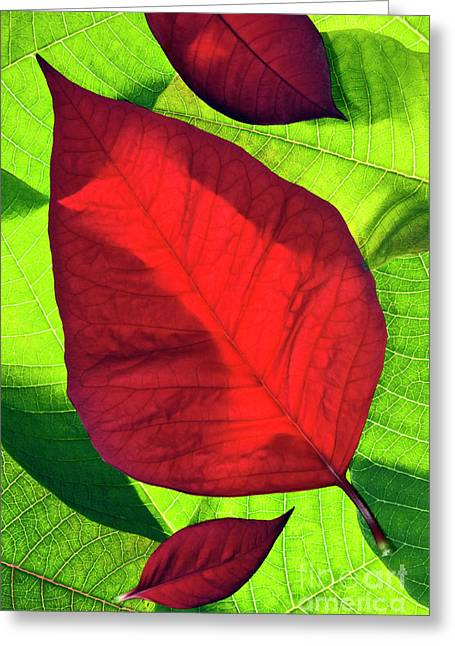 Noche Greeting Cards - Poinsettia - D007347 Greeting Card by Daniel Dempster