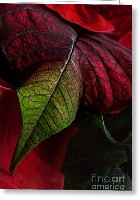 Euphorbiaceae Greeting Cards - Poinsettia Greeting Card by Ann Garrett