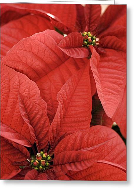 Euphorbia Greeting Cards - Poinsettia (euphorbia Pulcherrima) Greeting Card by Maria Mosolova