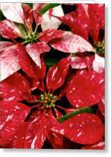 Ice And Warm Colors Greeting Cards - Poinsettia Red White Greeting Card by Debra     Vatalaro