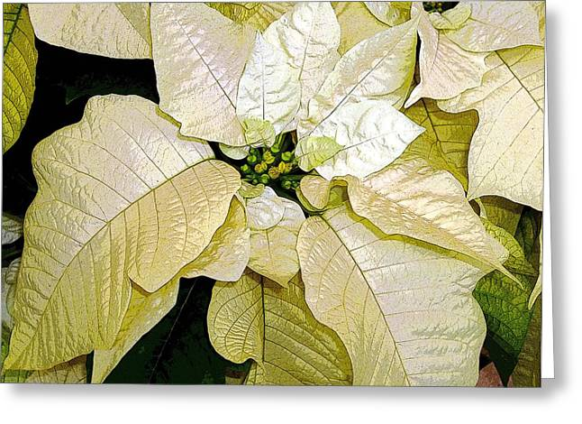 Poinsettias Greeting Cards - Poinsettias in White Greeting Card by Mindy Newman
