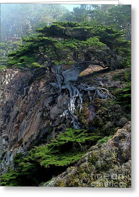 Scenic Greeting Cards - Point Lobos Veteran Cypress Tree Greeting Card by Charlene Mitchell