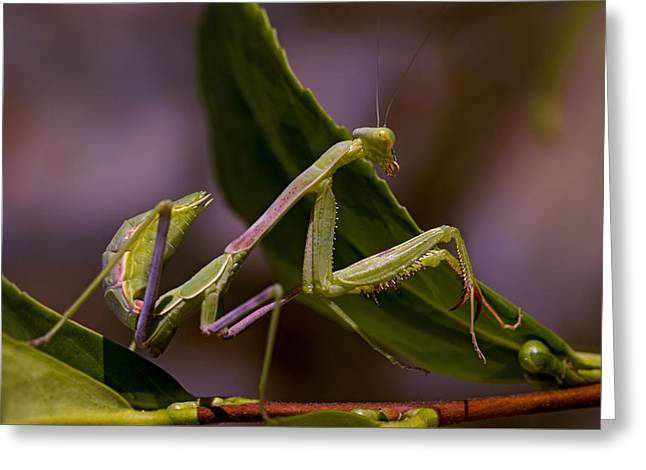 Reflex Greeting Cards - Poised Mantis Greeting Card by Thomas Morris