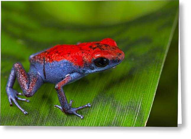 Frogs Photographs Greeting Cards - poison dart frog Escudo Greeting Card by Dirk Ercken