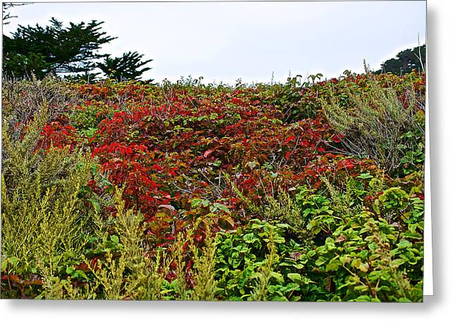 Point Lobos Reserve Greeting Cards - Poison Oak in Point Lobos State Reserve near Monterey-California  Greeting Card by Ruth Hager