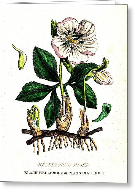 Poisonous Black Hellebore, Illustration Greeting Card by Wellcome Images
