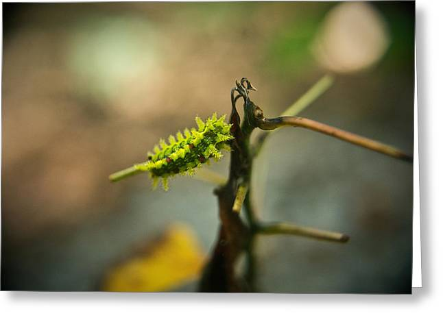 Tennessee Greeting Cards - Poisonous Insect Larva Greeting Card by Douglas Barnett