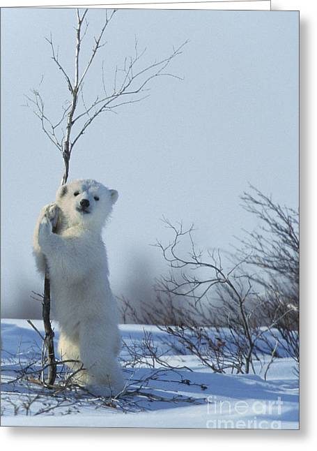 Polar Bear Cub Playing Greeting Card by Jean-Louis Klein and Marie-Luce Hubert