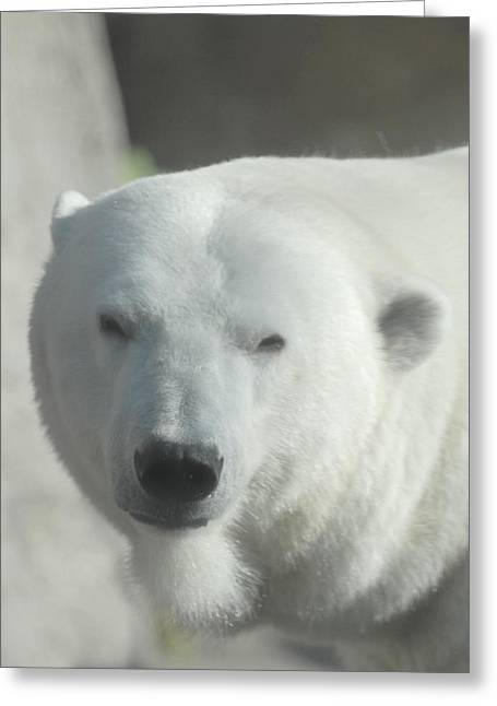 Mammals Glass Art Greeting Cards - Polar Bear Greeting Card by Curtis Gibson