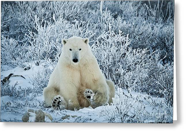 Lone Polar Bear Greeting Cards - Polar Bear in a Frosty World Greeting Card by Paulette Sinclair