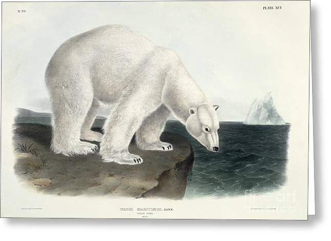 Ice Greeting Cards - Polar Bear Greeting Card by John James Audubon