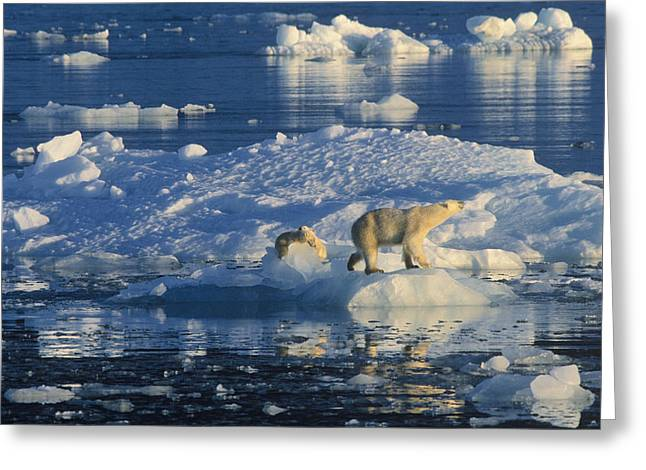 Baby Bear Greeting Cards - Polar Bear Ursus Maritimus Adult Greeting Card by Rinie Van Meurs