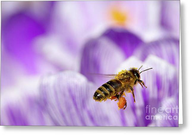 Honeybee Greeting Cards - Pollen Collector Greeting Card by Sharon  Talson