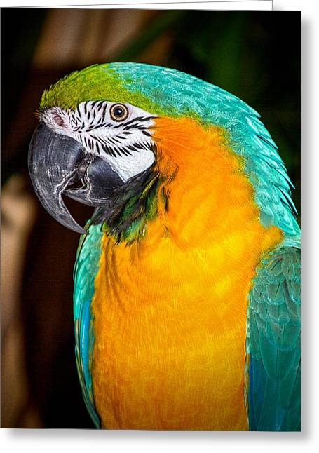 Macaw Art Print Greeting Cards - Polly Greeting Card by Dave Bosse