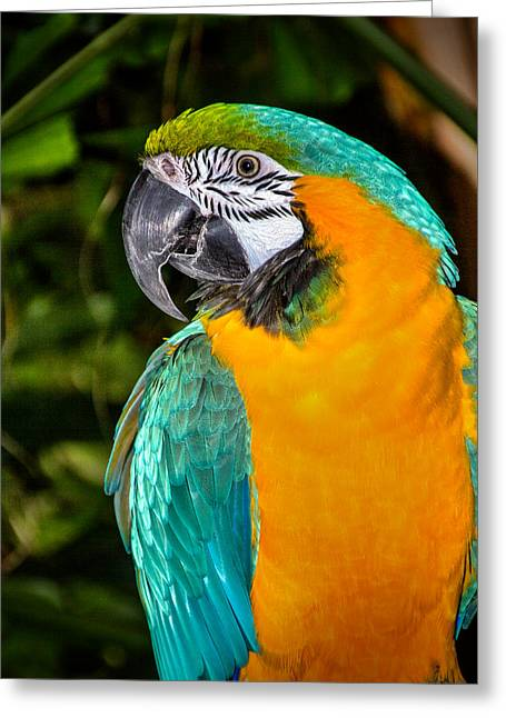 Macaw Art Print Greeting Cards - Polly II Greeting Card by Dave Bosse