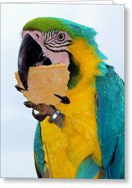 Blue Macaws Greeting Cards - Polly Wanna Cracker Greeting Card by Karen Wiles