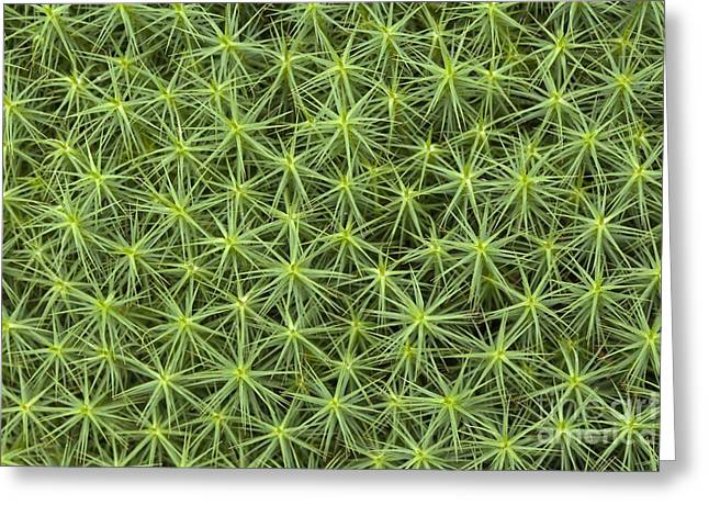Moist Greeting Cards - Polytrichum Commune Moss Greeting Card by Simon Booth