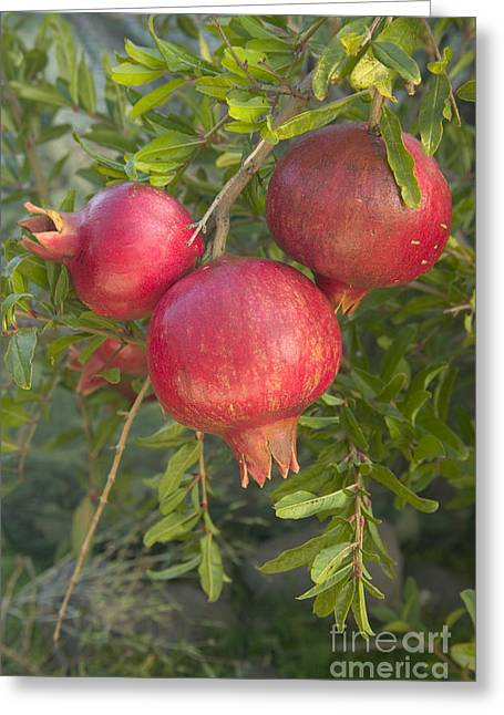 Punica Granatum Greeting Cards - Pomegranates In A Bunch Greeting Card by Inga Spence