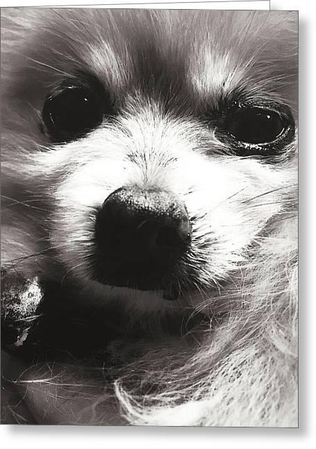 Puppies Photographs Greeting Cards - Pomeranian Puppy Greeting Card by Sarah Patrick