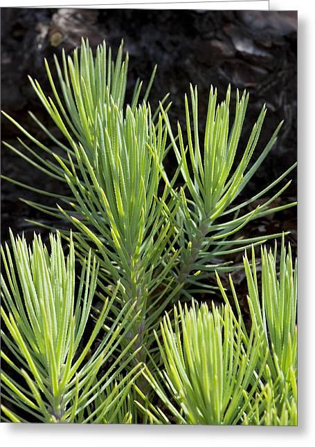 Ponderosa Pine Greeting Cards - Ponderosa Pine 10 Greeting Card by Kelley King