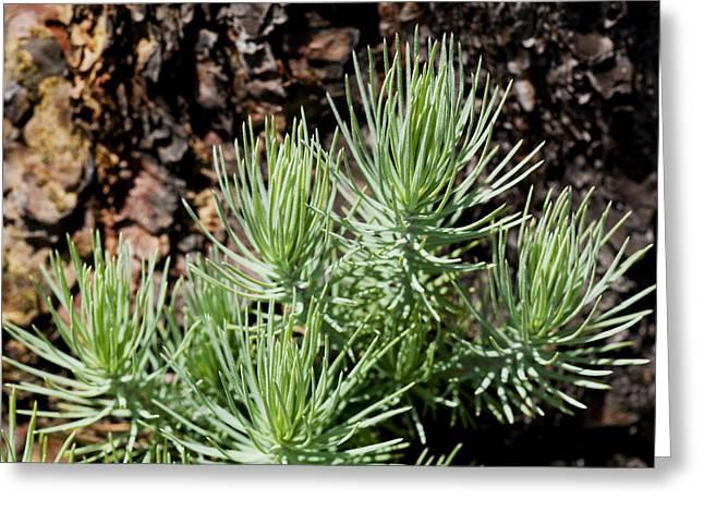 Ponderosa Pine Greeting Cards - Ponderosa Pine 7 Greeting Card by Kelley King