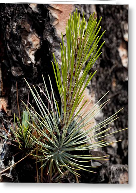 Ponderosa Pine Greeting Cards - Ponderosa Pine 9 Greeting Card by Kelley King