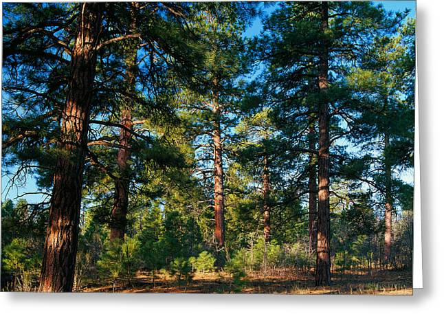 Ponderosa Pine Tree Forest, Kaibab Greeting Card by Panoramic Images