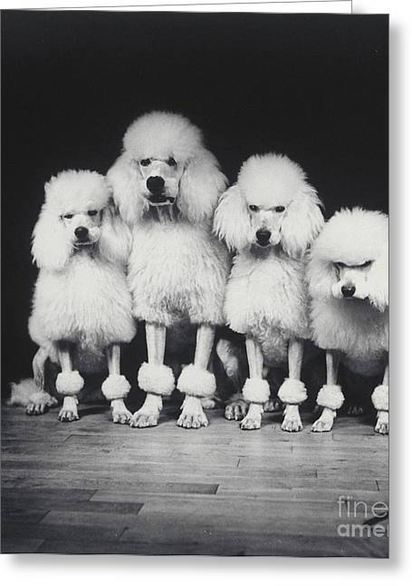 Quartet Photographs Greeting Cards - Poodle Quartet Greeting Card by Ylla