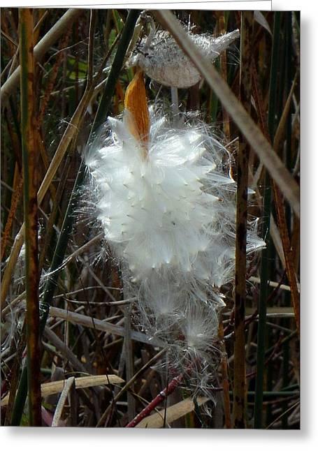Swamp Milkweed Greeting Cards - POOF  Asclepias Speciosa Greeting Card by Trinket
