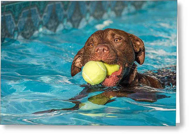 Chocolate Lab Greeting Cards - Pool Time Greeting Card by Eleanor Abramson