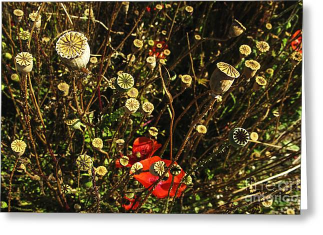 Kim Photographs Greeting Cards - Poopies Seed House Stars Greeting Card by Kim Lessel