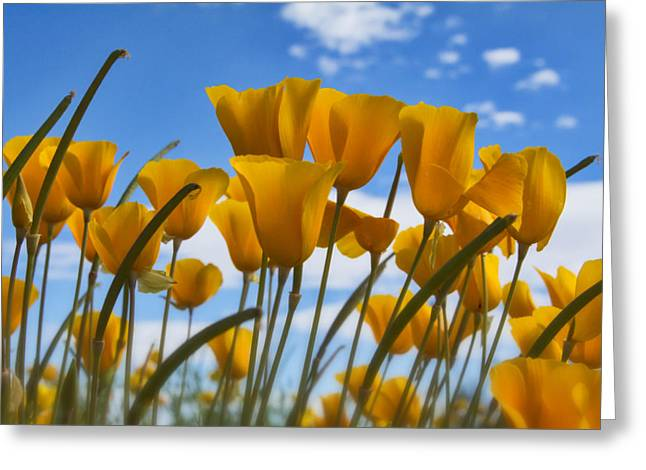 Golden Poppies Greeting Cards - Poppies in the Wind  Greeting Card by Saija  Lehtonen