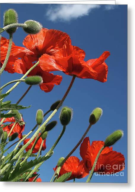 From Seed Greeting Cards - Poppies to the Sky in Quakertown PA Greeting Card by Anna Lisa Yoder
