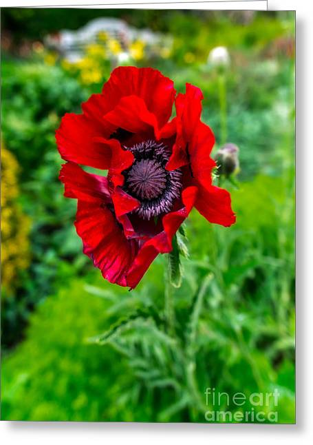 Greeting Cards - Poppy Greeting Card by Adrian Evans