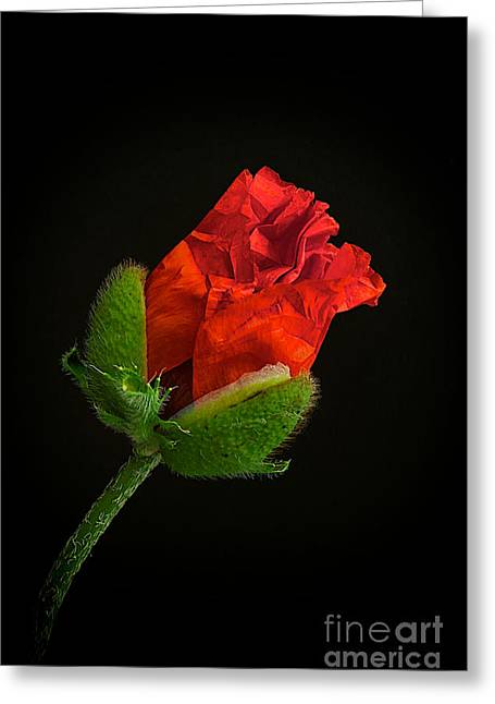 Crimson Greeting Cards - Poppy Bud Greeting Card by Toni Chanelle Paisley