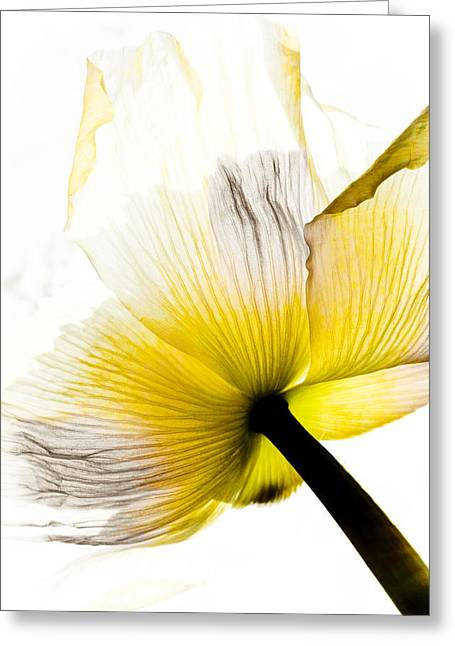 Poppy Flower Art Greeting Card by Frank Tschakert