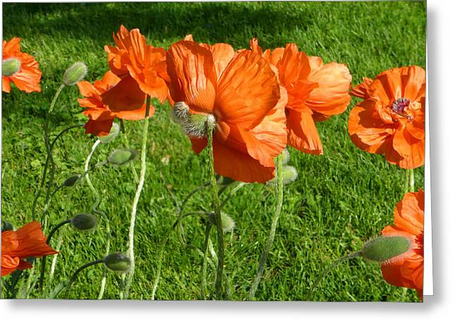 Springflowers Greeting Cards - Poppy Group Greeting Card by Tina M Wenger