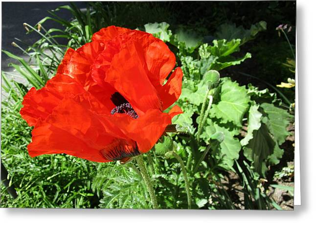 Capsule Greeting Cards - Poppy Love Greeting Card by Rosita Larsson