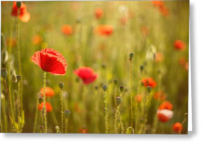 Back-light Greeting Cards - Poppy Party III Greeting Card by Roeselien Raimond