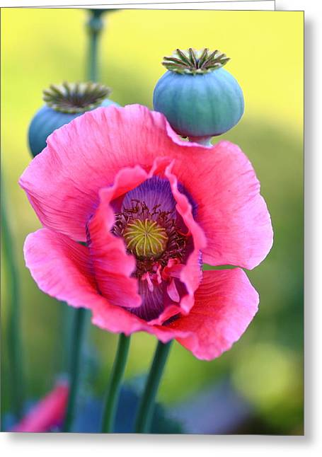 Nature Study Greeting Cards - Poppy Flower Study Greeting Card by Rumyana Whitcher