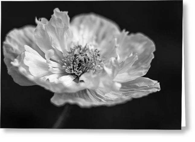 White Photographs Greeting Cards - Poppy Greeting Card by Zuska Madar
