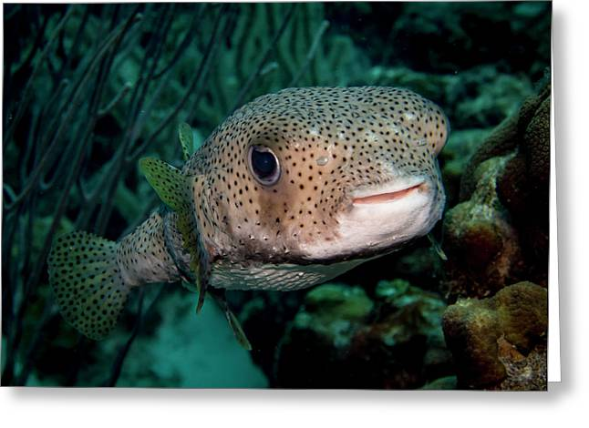 Porcupine Fish Greeting Card by Jean Noren